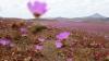 Одно из самых засушливых мест на планете покрылось ковром розовых цветов (ФОТО)