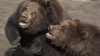 В московском зоопарке медведи поднимают себе настроение за счет посетителей