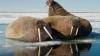 На Чукотке возбудили дело об убийстве 19 моржей