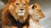 Ночевку в загоне со львами предложат посетителям Лондонского зоопарка
