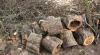 С приходом зимы в лесах участились случаи незаконной вырубки деревьев