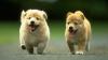 """В США появились первые в мире щенки """"из пробирки"""""""
