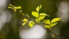Декабрь в Молдове: на некоторых деревьях появились почки и листья