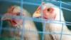 Тёплая зима приводит к заболеваниям домашней птицы, опасных и для человека