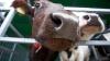 Близ Тогатино автомобиль насмерть сбил корову