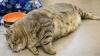 Толстый кот покачал пресс на камеру (ВИДЕО)