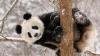 Панда Тянь-Тянь пришла в восторг от выпавшего снега (ВИДЕО)