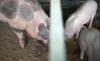 Несколько свиней сбежали из церкви и разгуливают по столице (ВИДЕО)