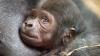 В Великобритании впервые детеныш гориллы выжил после кесарева сечения