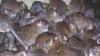 Жильцов многоэтажки на Чеканах терроризируют крысы