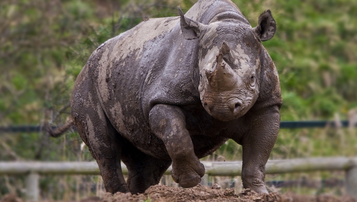Носорог протаранил джип с туристами (ВИДЕО)