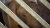 Слон, не выдержав плохих украинских дорог, сбежал из грузовика