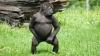 Видеоклип с вальсирующей гориллой взорвал интернет