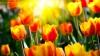 Село Ченак превратилось в настоящий сад тюльпанов