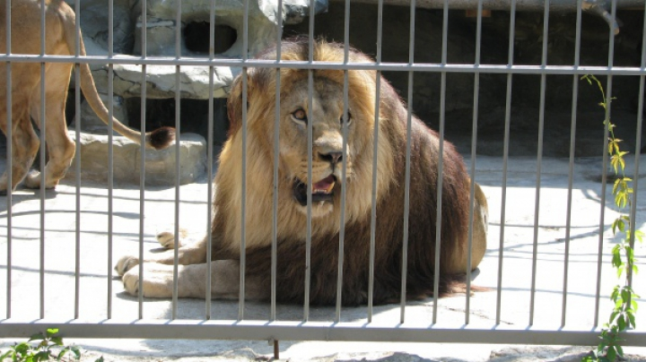 Защитники животных спасли больше 30 львов в Латинской Америке