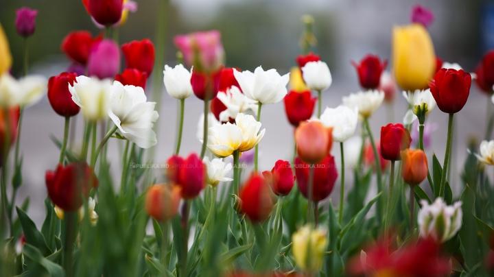 В Амстердаме начался фестиваль тюльпанов