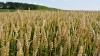 Cредний урожай озимой пшеницы составит около трёх тонн с гектара