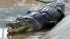 Аллигатор попытался позвонить в дверь жительницы Южной Каролины (ВИДЕО)