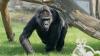 В США застрелили гориллу для спасения упавшего к ней ребенка