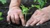 Недавние заморозки вынудили фермеров вновь высаживать овощи