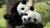 Шаловливые детеныши панды (ВИДЕО)