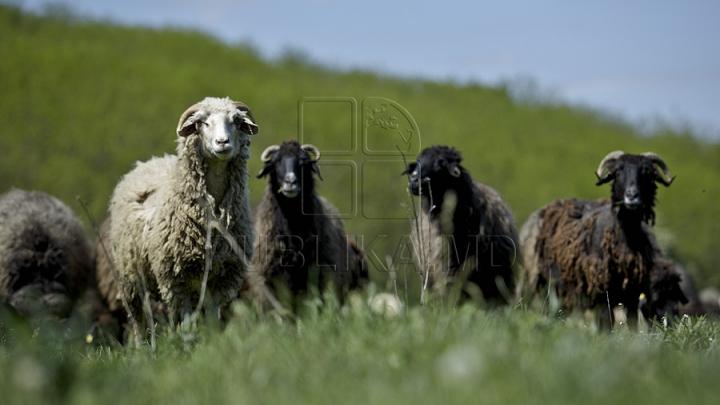 От заснувшего пастуха сбежали более тысячи овец