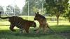 Тигр и немецкая овчарка подружились в Австралии (ВИДЕО)