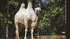 Верблюжьи гонки устроили в Иордании