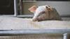 Вспышка африканской свиной чумы зафиксирована вблизи молдавской границы