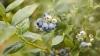 Первая плантация черники в Молдове (ФОТО)