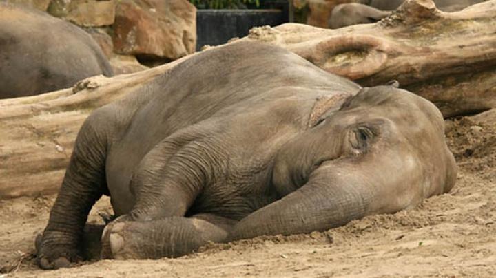 В таиландском заповеднике слоны уснули под колыбельную