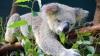 Необычное украшение рождественской елки: семья из Австралии обнаружила на дереве живого коалу