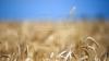 Прогнозируемый урожай пшеницы превысит показатель прошлого года