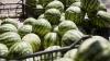 Сезон молдавских арбузов: капризы погоды сказались на их цене и количестве, но не на качестве ягод