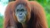 Орангутана впервые обучили человеческим звукам (ВИДЕО)