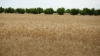 Вице-председатель партии DA требует у правительства повысить закупочную цену на пшеницу