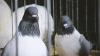 В Молдове запретили отстрел голубей
