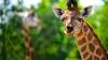 Жираф умер от страха на Тайване