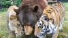 В США дружившие 15 лет медведь и тигр пережили утрату приятеля-льва