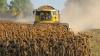 Фермеры сообщили о снижении урожайности подсолнечника