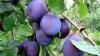 В сливовых садах начался сбор урожая