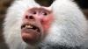 Бабуин из американского зоопарка проучил невоспитанных детей (ВИДЕО)