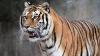 На юге Индии несколько десятков тигров сбежали из заповедника из-за пожара