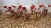 Минсельхоз исключил угрозу распространения африканской свиной чумы