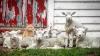 Кот подружился с овцами и стал бараном отары (ВИДЕО)