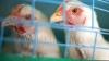 Молдове угрожает птичий грипп: ветеринары призывают провести вакцинацию домашней птицы