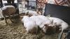 В Молдове запрещен ввоз животных и свинины из Украины
