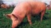 На Украине свиньи перекрыли дорогу