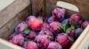 В Молдове соберут богатый урожай слив