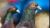 В Индии арестован голубь-шпион